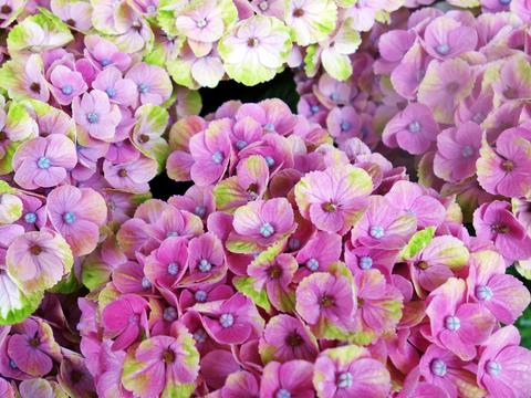 紫陽花17.jpg