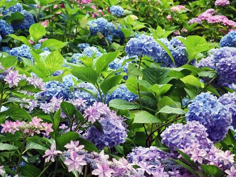 紫陽花24.jpg