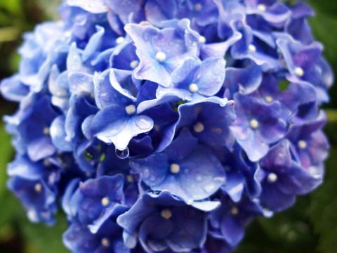 紫陽花TOP.jpg