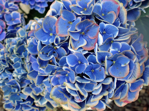 紫陽花11.jpg