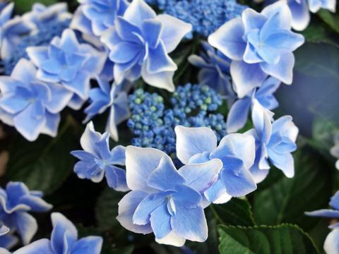 紫陽花12.jpg