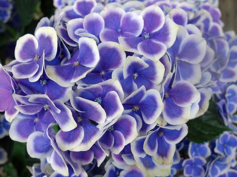 紫陽花15.jpg