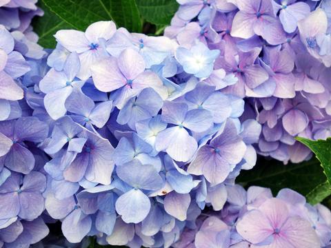 紫陽花18.jpg