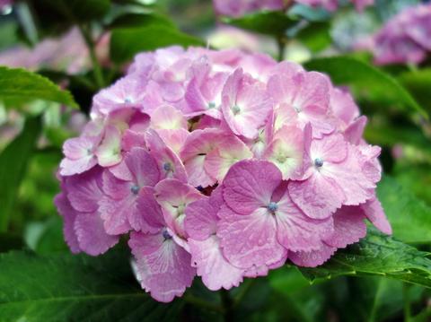 紫陽花23.jpg