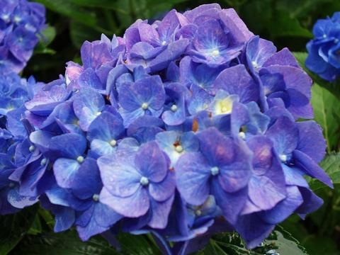 紫陽花6.jpg